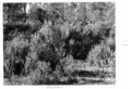 Queensland State Archives 4495 Groundsel infestation c 1950.png