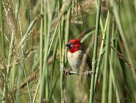 Quelea erythrops -South Africa -building nest-8.jpg