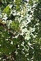Quercus lobata kz1.jpg