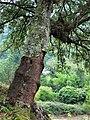 Quercus suber. Sufrera.jpg
