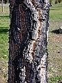 Quercus suber trunk DehesaBoyaldePuertollano.jpg