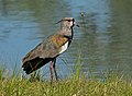 Quero-quero (Vanellus chilensis) (17987642100).jpg