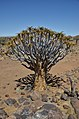 Quiver tree forest, Aloe rozsochatá - Namibie - panoramio (3).jpg
