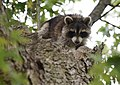 Raccoon (37493709436).jpg