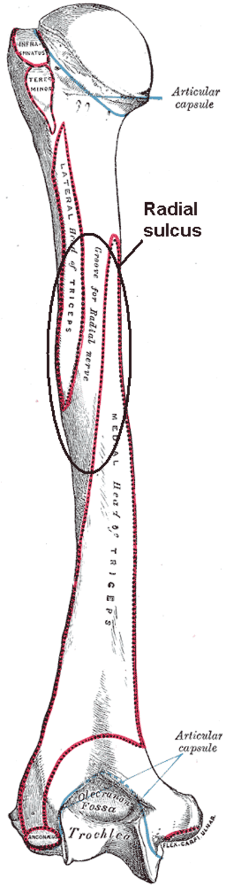 "Radial sulcus - Left humerus. Posterior view. (Label, visible at center, is ""Groove for radial nerve"")"