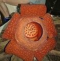 Rafflesia tuan-mudae (cropped version).jpg