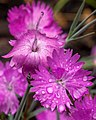 Rain Droplets On Carnations (18781581410).jpg