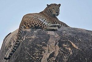 Rainbirder - Leopard (1)