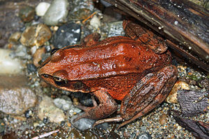 Fern Canyon -  A northern red-legged frog, Rana aurora, in Fern Canyon