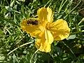 Ranunculaceae Ranuculus scelaratus - Blaartrekkende boterbloem 02.jpg