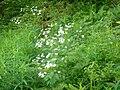 Ranunculus aconitifolius 1.jpg