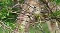Rattling Cisticola (Cisticola chiniana) (6016767717).jpg