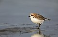 Red-capped Plover (Charadrius ruficapillus) (27842493387).jpg