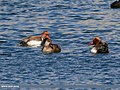 Red-crested Pochard (Netta rufina) (31820873650).jpg