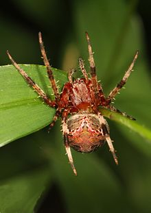 Red-femurred Spotted Orbweaver - Neoscona domiciliorum, Leesylvania State Park, Woodbridge, Virginia.jpg