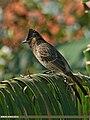 Red-vented Bulbul (Pycnonotus cafer) (21902404244).jpg