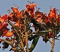 Red-vented Bulbul (Pycnonotus cafer) feeding on Spathodea campanulata W2 IMG 5748.jpg