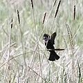 Red-winged blackbird, landing (8930721045).jpg