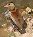 Red.billed.whistling.duck.600pix.jpg
