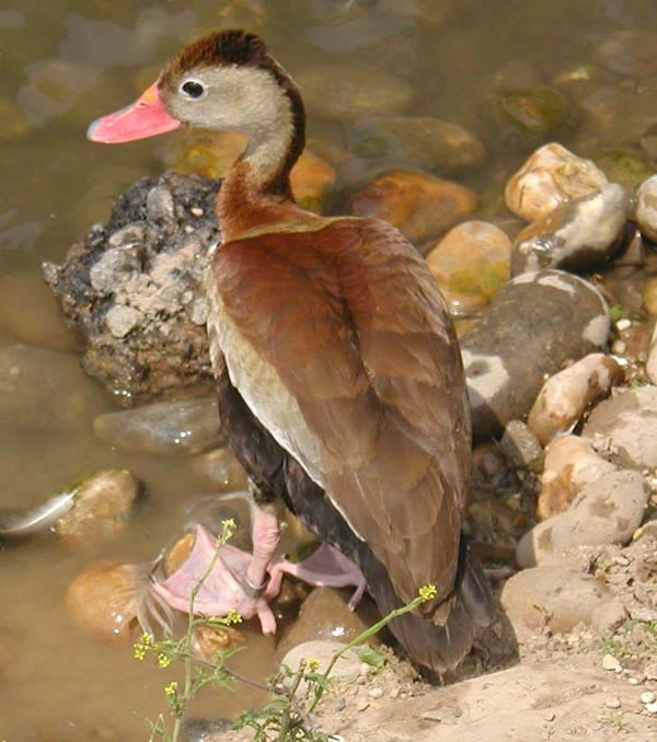 Red.billed.whistling.duck.600pix