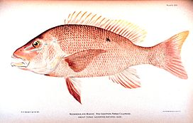 RedSnapper.jpg