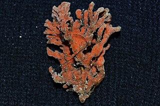 <i>Clathria prolifera</i> species of sponge