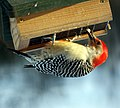 Red Bellied Woodpecker at the suet feeder (4210454517).jpg