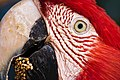 Red Macaw Eating.jpg