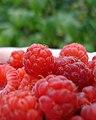 Red Raspberry (Rubus idaeus) - Thunder Bay, Ontario.jpg