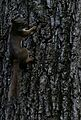 Red Squirrel Red Hill Valley 2.JPG