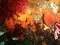 Red fanworm, orange sponge, and brooding cushion star at Sunfish Pinnacle P1299082.JPG