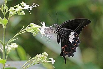 Papilio helenus - P. h. daksha, Kerala, India