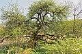 Rhamnus cathartica Ehner Luxembourg 02.jpg