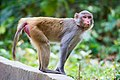 Rhesus Macaque monkey the look.jpg