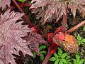 Rheum palmatum Atrosanguineum - Flickr - peganum (1).jpg