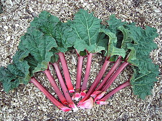 Rhubarb Species of herbaceous perennial plant with fleshy edible stalks