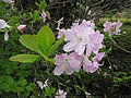 Rhododendron schlippenbachii 3.JPG