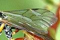 Rhorus.longicornis9.-.lindsey.jpg