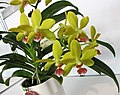 Rhynchonopsis Kdares Perfume Lemon -台南國際蘭展 Taiwan International Orchid Show- (25970055487).jpg