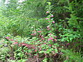 Ribes sanguineum - Rattlesnake Mountain west side trail.jpg