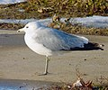 Ring-billed Gull facing the wind.jpg