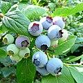 Ripening Blueberry 'Bluecrop' - geograph.org.uk - 1397769.jpg