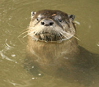 River otter close up Alhambra Creek by Cheryl Reynolds courtesy Worth a Dam Feb.11, 2010.jpg