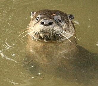 Martinez, California beavers - River otter Returns to Alhambra Creek beaver pond 2008
