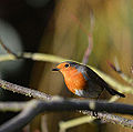 Robin in Tree (11551077363).jpg