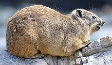 Rock Hyrax (Procavia capensis) (46255358441).jpg