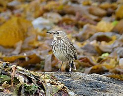 Rock Pipit, Anthus petrosus (38700464794).jpg