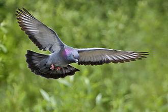 Columbidae - Rock dove in flight