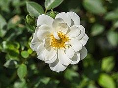 Rosa 'Kent' (d.j.b) 01.jpg