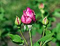 Rosa 'Novalis' (d.j.b) 01.jpg
